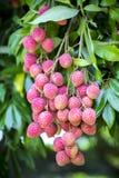 Swój lychee zrywania czas przy ranisonkoil, thakurgoan, Bangladesz Zdjęcie Stock