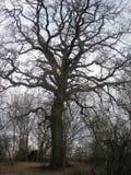 Swój wiek 250 rok Możny drzewo rozprzestrzeniał swój gałąź w różnych kierunkach Fotografia Stock