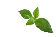 Sw Chloranthus неброский Стоковые Изображения RF