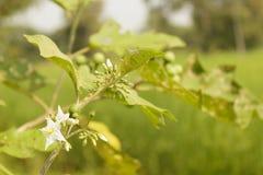 Sw torvum Solanum Стоковое Изображение