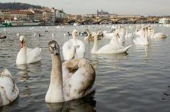 Swags on thre river Vltava, Prague, Czech republic Stock Photography