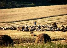 swain sheeps Стоковое Изображение RF