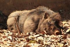 Swain som vilar eller sover i en trädgård royaltyfria foton
