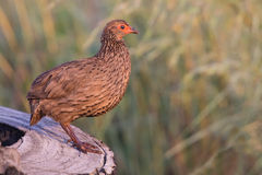 Swainson's francolin standing on tree stump to call in early m Stock Image