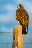 Swainson在早晨光的` s鹰 图库摄影