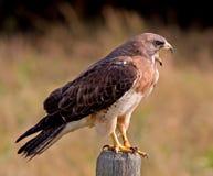 Swainson的鹰 免版税图库摄影