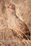 Swainson的Spurfowl (Pternistis swainsonii) 免版税库存照片