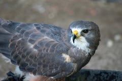 Swainson' falco &#x28 di s; buteo swainsoni) è un grande falco del Buteo della F immagini stock libere da diritti