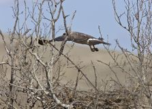 Swainson Hawk Royalty Free Stock Photos