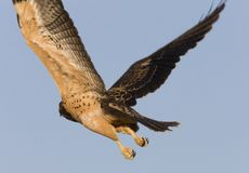 Swainson Hawk in flight Stock Photo