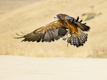 Swainson hawk flying. Single hawk comming in for a landing Stock Photos