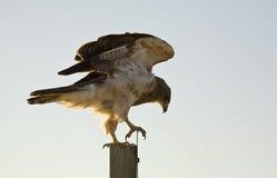 Swainson Hawk on Post Stock Photos