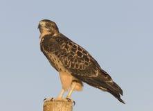 Swainson Hawk on Post Stock Image