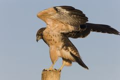 Swainson Hawk on Post Royalty Free Stock Images