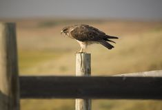 Swainson Hawk on Post. At dusk in Saskatchewan Canada Stock Images