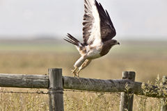 Swainson Hawk on Post Stock Images