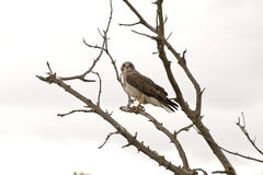 Swainson Hawk in a Tree Stock Image