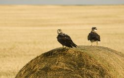 Swainson Hawks on Hay Bale. After storm Saskatchewan Stock Images