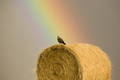 Swainson Hawks on Hay Bale. After storm Saskatchewan Rainbow storm Royalty Free Stock Image