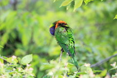 Swainson lorikeet Stock Photography