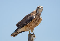 Swainson's Hawk Royalty Free Stock Image