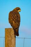 Swainson`s Hawk Against Blue Sky Royalty Free Stock Photos