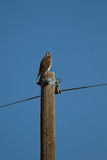 Swainson's Hawk, Buteo swainsoni Stock Photos