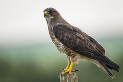 Swainson's Hawk (Buteo swainsoni). Swainson's Hawk perched on a fence post in the farmlands of Alberta Canada Stock Photos