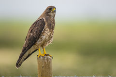 Swainson's Hawk (Buteo swainsoni). Swainson's Hawk perched on a fence post in the farmlands of Alberta Canada Royalty Free Stock Image