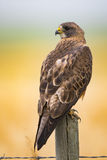 Swainson's Hawk (Buteo swainsoni). Swainson's Hawk perched on a fence post in the farmlands of Alberta Canada Royalty Free Stock Images