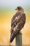 Swainson's Hawk (Buteo swainsoni) Royalty Free Stock Images