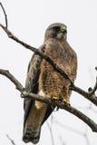 Swainson's Hawk (Buteo swainsoni) Stock Photos