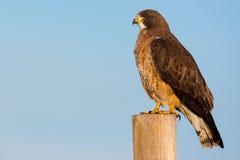 Swainson-` s Hawk And Colorado Blue Sky Lizenzfreie Stockbilder