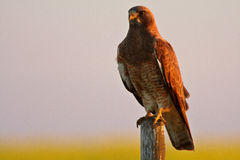 Swainson's Hawk perched Stock Photos