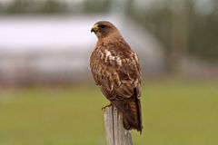 Swainson's Hawk perched Stock Image