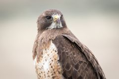 Swainson`s Hawk Portrait on a Cloudy Day. In Northern Utah Royalty Free Stock Photography