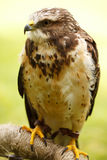 Swainson's Hawk Royalty Free Stock Images