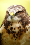 Swainson's Hawk. Is a raptor and a medium-sized member of the Buteo genus. It broadly overlaps in size with the Red-tailed Hawk (B. jamaicensis), a related Stock Image
