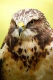 Swainson's Hawk Stock Image