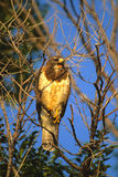 Swainson's Hawk Screeching. A swainson's hawk screeching from its perch in a cottonwood tree Royalty Free Stock Photography