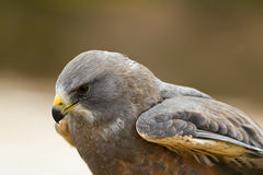 Swainson's Hawk Royalty Free Stock Photography