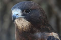 Swainson`s Hawk. This is a Swainson`s Hawk Royalty Free Stock Photos