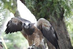 Swainson ` s jastrząb w Kalifornia ptaka drapieżnego centrum zdjęcie royalty free