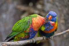 Swainson's Lorikeet Royalty Free Stock Images