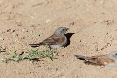 Swainson`s sparrow Passer swainsonii taking a sand bath. stock photography