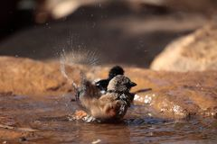 Swainson's sparrow (Passer swainsonii). A Swainson's sparrow (Passer swainsonii) on a waterhole in the Ethiopian Mountains stock image