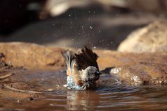 Swainson's sparrow (Passer swainsonii). A Swainson's sparrow (Passer swainsonii) on a waterhole in the Ethiopian Mountains royalty free stock image