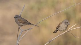 Swainson`s Sparrows on Shrubs. Two Swainson`s sparrows, Passer swainsonii, perch on shrubs  at Abidjatta Shalla National Park, Ethiopia, Africa royalty free stock image