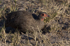 Swainsons Spurfowl. (Pternistis swanisonii) in the Savuti area of Botswana Stock Image