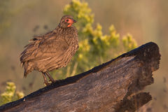 Swainson's Spurfowl. On burnt log with out of focus background Royalty Free Stock Photo